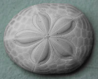 Sand dollar Stock Photo