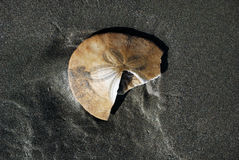 Sand Dollar. On beach near Crescent City, California Royalty Free Stock Image