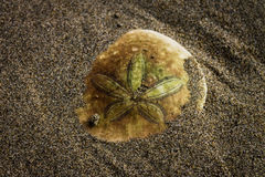 Sand Dollar. Buried in sand Royalty Free Stock Photos