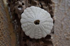 Sand dollar on driftwood. With sea fan in background Perfect for a coastal setting Stock Photo