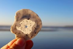 Sand Dollar found at Pacific Beach, San Diego. A tourist holding a sand dollar found in Pacific beach of San Diego, California. The term sand dollar refers to Royalty Free Stock Image