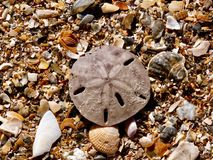 Sand Dollar at Holden Beach Royalty Free Stock Images