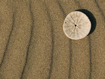 Sand Dollar. On rippled sand background Stock Photography