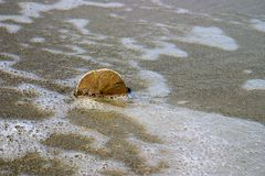 Sand Dollar in the sand. A sand dollar stuck in the sand Royalty Free Stock Photo