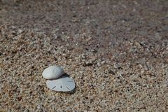Sand Dollar and Seabiscuit on Shells on Tiny Shells. Large shells sit atop a beach made of tiny shells with clear water Royalty Free Stock Image