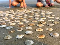 Sand dollars on beach. Sand dollar shells spaced out on beach. Perspective with sand dollars laid out in row upon row royalty free stock photography