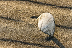 Sand Dollar Sits in the Sand of a Beach Royalty Free Stock Photo