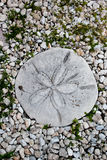 Sand Dollar Stepping Stone Stock Photography