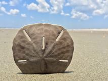 Sand dollar upright on beach. An unbroken sand dollar stands upright on a clear day Royalty Free Stock Image