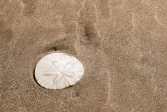 Sand dollar in the wet sand Stock Photos