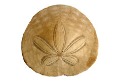 Sand Dollar on White Stock Photo