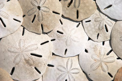 Sand Dollars. A background image of a pile of Sand Dollars Royalty Free Stock Photography