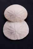 Sand Dollars Royalty Free Stock Images