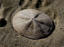 Sand dollars. Royalty Free Stock Photo