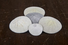 Sand Dollars on an antique table Royalty Free Stock Images