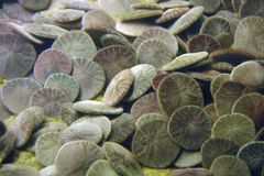 Sand dollars on ocean floor royalty free stock images