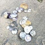 Sand dollars piled up on the sand. Sand dollars  piled group beach shells water ocean sealife royalty free stock photos