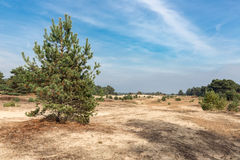 Sand drifts with trees at Dutch National Park Veluwe. Sand drifts with lonely trees at Dutch National Park Veluwe Stock Images