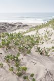 Sand verbena on the sand. Sand dune by the beach with Sand Verbena and the ocean royalty free stock photos