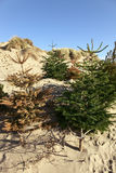 Sand dune Christmas tree recycling Stock Photography