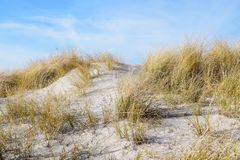 Sand dune with dry marram grass Ammophila arenaria on a sunny Stock Image