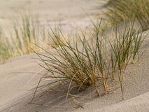 Sand dune and grass. Close up of grass planted in sand dunes to prevent erosion Royalty Free Stock Images