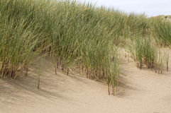 Sand dune grasses Royalty Free Stock Images