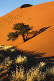 Sand Dune - Namib Desert - Sossusvlei - Namibia. Early morning sun on the scrubland and sand dunes in the Namib Desert at Sossusvlei in Namibia. The tree will Royalty Free Stock Images