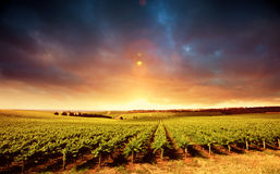 Vineyard Sunset Royalty Free Stock Photo
