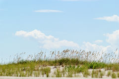 Sand dune and tall sea oats with blue sky in the background Royalty Free Stock Photography