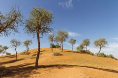 Sand dune with trees and blue sky in the morning at Abu Dhabi, UAE Stock Photography