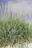 Sand dune vegetation in Sweden Stock Photo