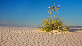 Sand Dune and Yucca at White Sands National Monument, New Mexico Royalty Free Stock Photo