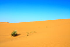 Sand dunes. And a lonely tuft of grass Royalty Free Stock Image