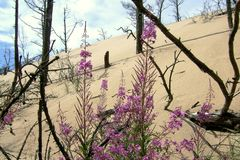 Sand dunes. With dead trees, in front flowering fireweed Royalty Free Stock Image
