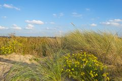 Sand dunes along the north sea coast below a blue sky in sunlight royalty free stock images