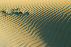 Sand dunes. Beautifully sculpted sand dunes of fine sand that the wind caused the sculpted beautiful patterns which are in some places dotted fine grumenovima Royalty Free Stock Photo