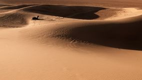 Sand dunes with camel, Morocco Royalty Free Stock Image