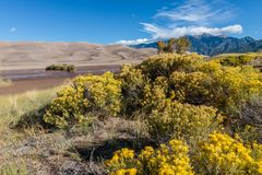 Great Sand Dunes National Park. Sand dunes in Colorado with yellow blooming flowers Stock Image