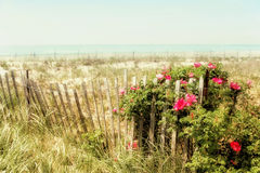 Sand dunes and hibiscus. Hibiscus, grass, and wooden fence with ocean on horizon Royalty Free Stock Images
