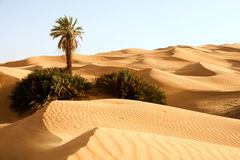 Sand dunes with one palm – Awbari, Libya Royalty Free Stock Photos