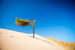 Sand dunes and pine tree Royalty Free Stock Images
