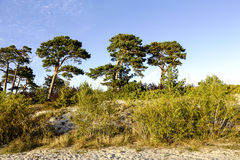 Sand dunes and pine trees Royalty Free Stock Photo