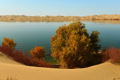 The Sand dunes and populus euphratica in the lake. The Sand dunes and populus euphratica Royalty Free Stock Photography