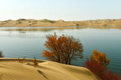 The Sand dunes and populus euphraticainverted image Royalty Free Stock Images