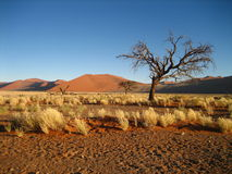 Sand dunes, tree and tussocks in Namib desert. Sand dunes, tree and tufts of grass in Sossusvlei / Namibia Royalty Free Stock Images