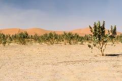 Sand dunes and trees in desert Erg Chegaga, Morocco Stock Image