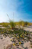 Sand dunes with yellow sand verbena and beachgrass Royalty Free Stock Photo