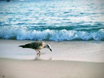 Sand för havsfiskmås mellan dina tår Arkivbilder