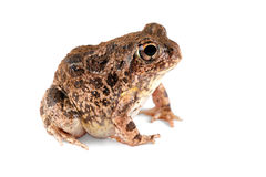 Sand frog Royalty Free Stock Image